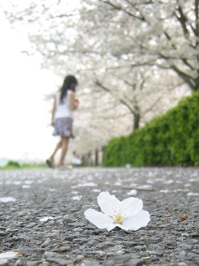 2004-sakurasakura-06